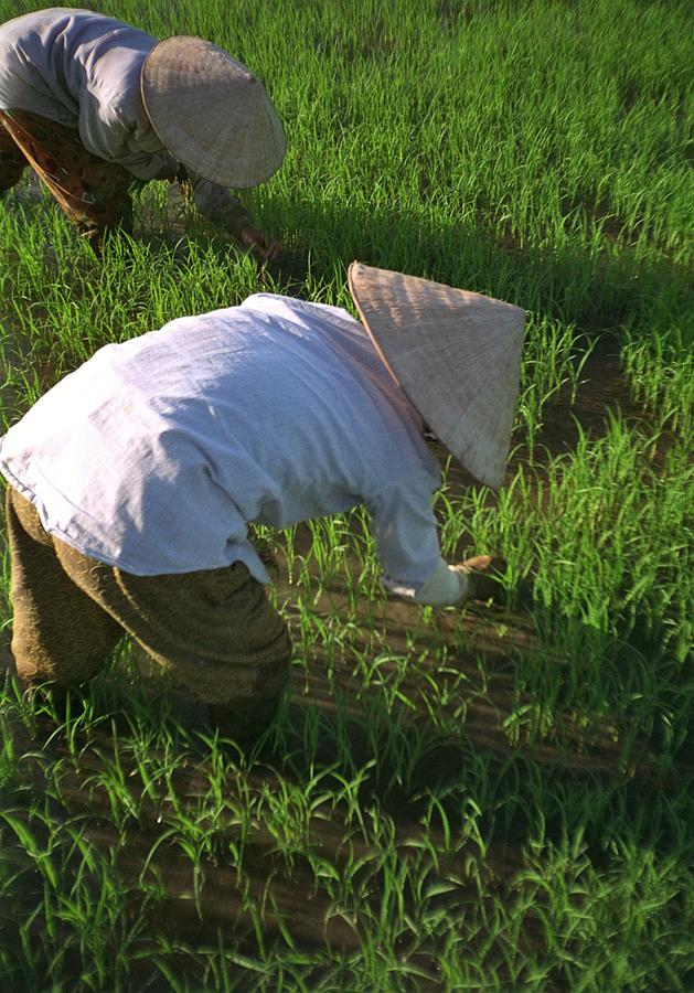 Vietnamese Farmers Working At Rice Paddy Photograph by Michel Guntern / EyeEm