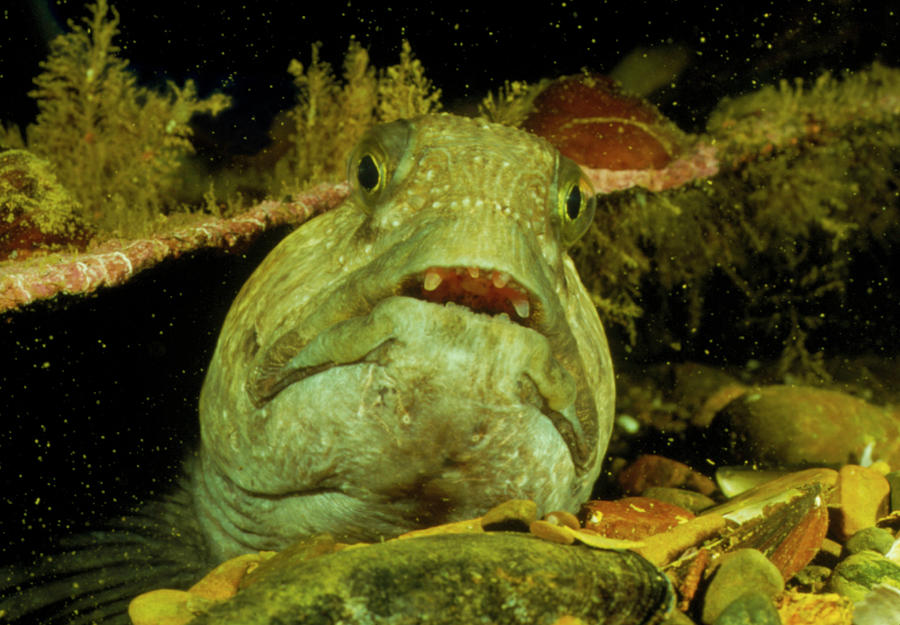 Wolf Fish Photograph - View Of A Wolf Fish by Rudiger Lehnen/science Photo Library