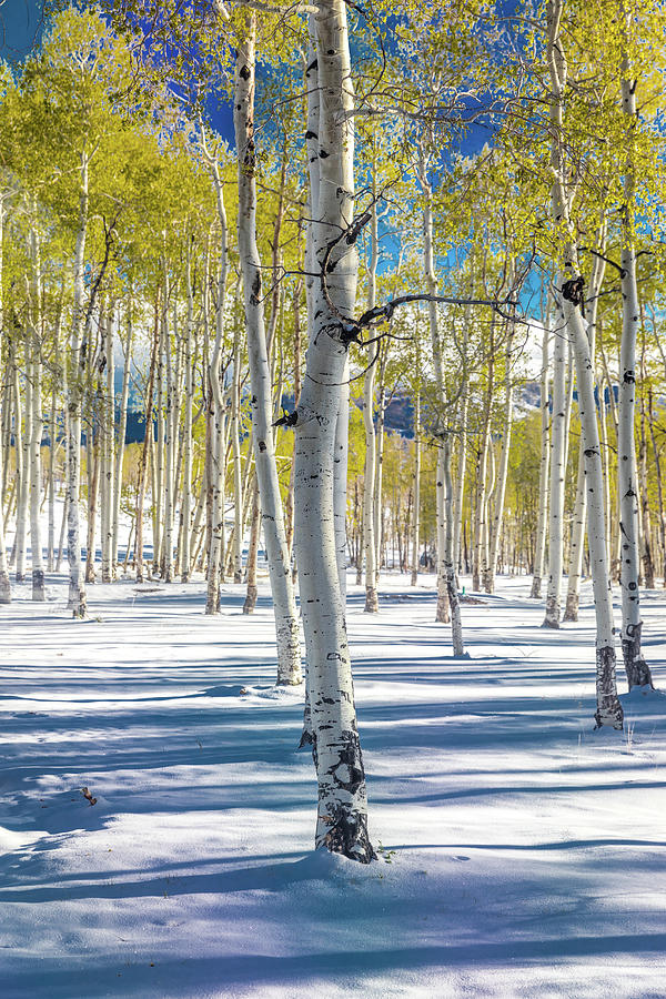 Vertical Photograph - View Of Aspens In Fresh Winter Snow by Panoramic Images