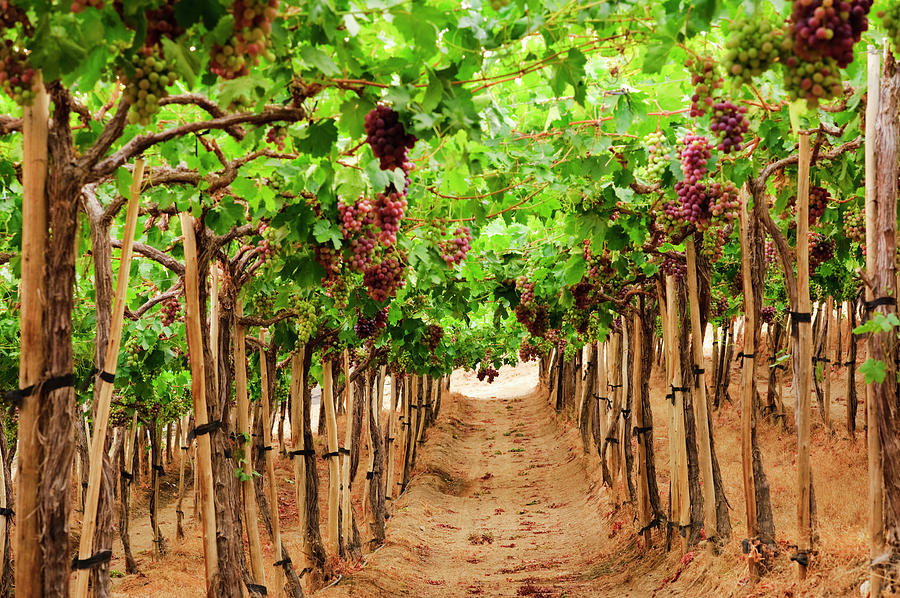 View Of Vineyard Photograph by Johner Images