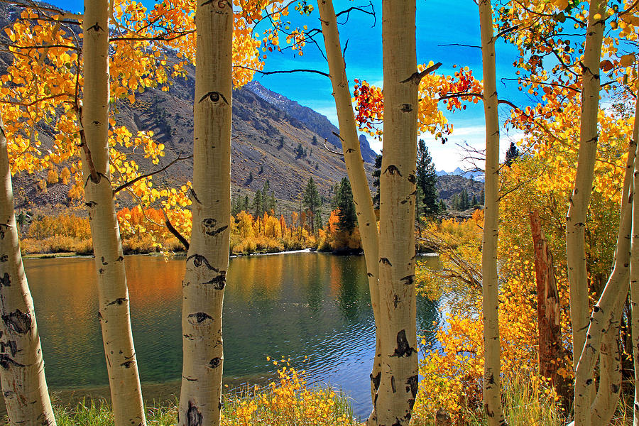 June Lake Photograph - View Through The Aspens by Donna Kennedy