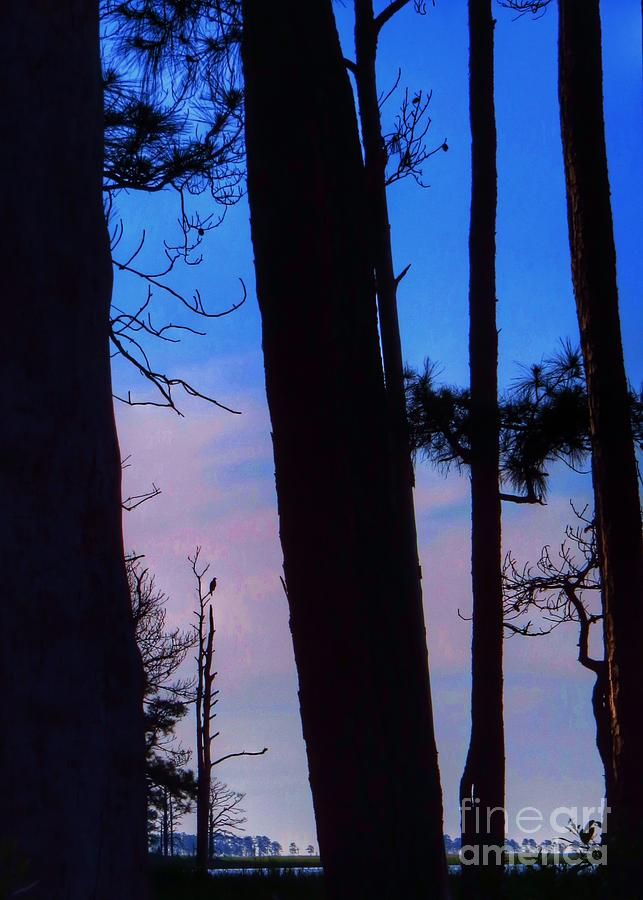 Blackwater National Wildlife Refuge Photograph - View through the Loblolly Pines by Rrrose Pix
