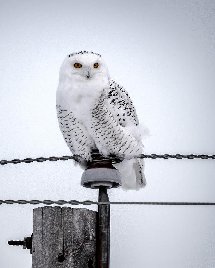 Snowy Owl Photograph - Vigilant by David Wynia