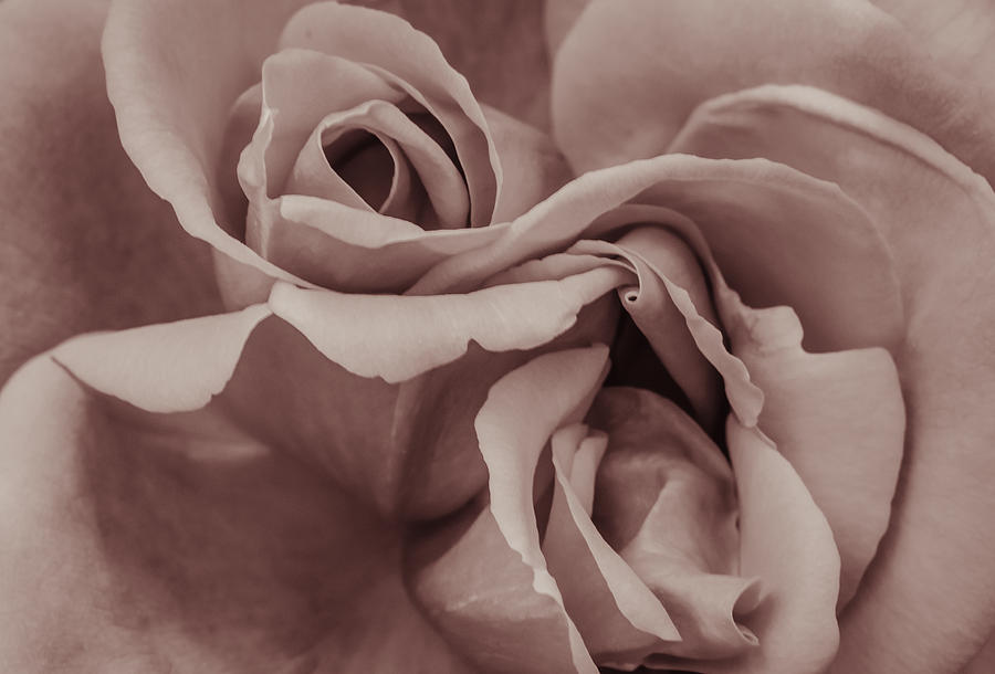 Abstract Photograph - Vignette Rose. by Slavica Koceva