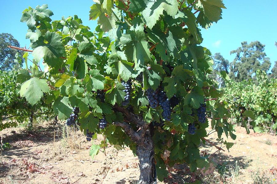 Vineyard Photograph - Villa Toscano Vineyards by Susan Woodward