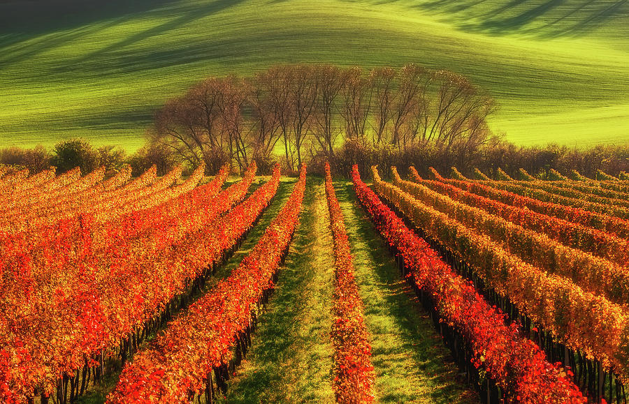Moravia Photograph - Vine-growing by Piotr Krol (bax)