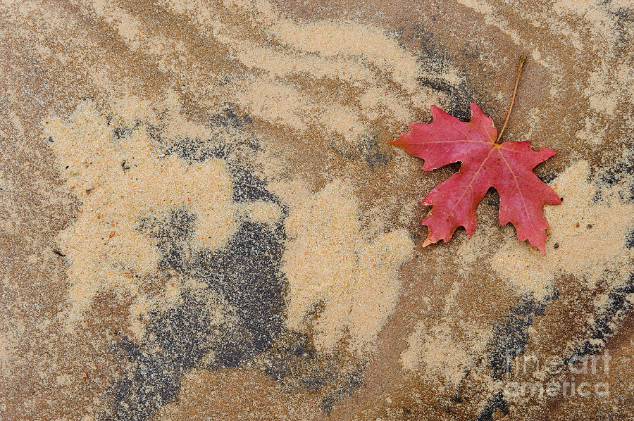 Leaf Photograph - Vine Maple Leaf by John Shaw