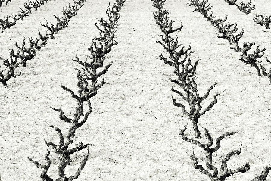 Vines Photograph - Vines by Frank Tschakert