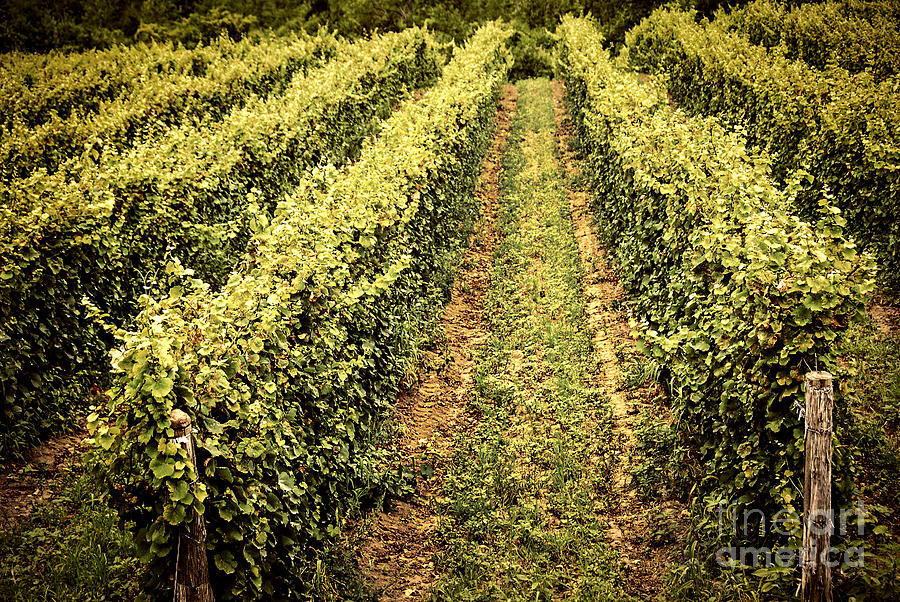 Vineyard Photograph - Vines Growing In Vineyard by Elena Elisseeva