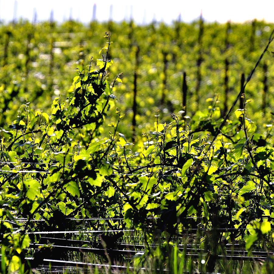 Vineyard 24047 Photograph