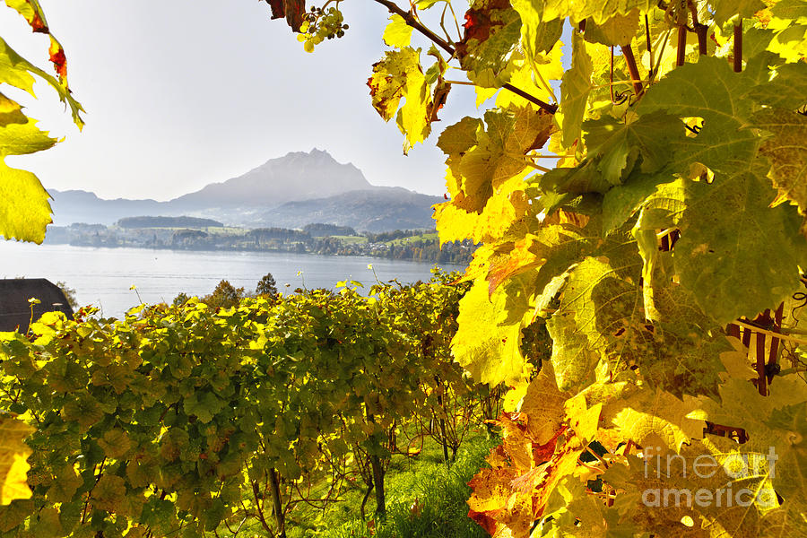 Lucerne Photograph - Vineyard At Lake Lucerne by George Oze