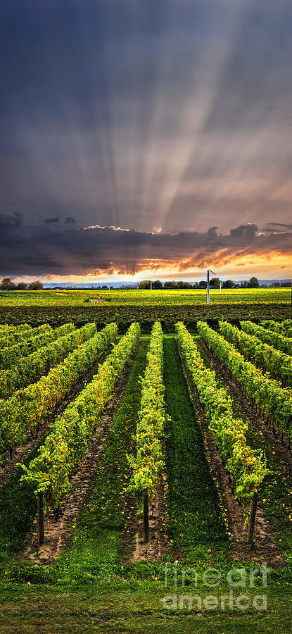 Vineyard At Sunset Photograph