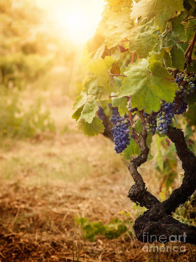 Crop Photograph - Vineyard In Autumn Harvest by Mythja  Photography