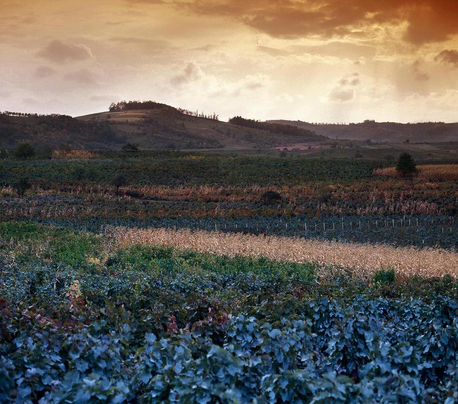 Landscape Photograph - Vineyard In Krushevac. Serbia by Juan Carlos Ferro Duque