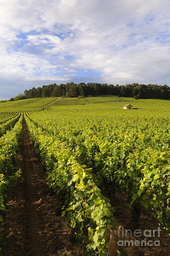 Agricultural   Photograph - Vineyard Near Monthelie. Burgundy. France. Europe by Bernard Jaubert