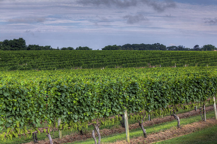 Vineyard Photograph - Vineyard Rows by Steve Gravano
