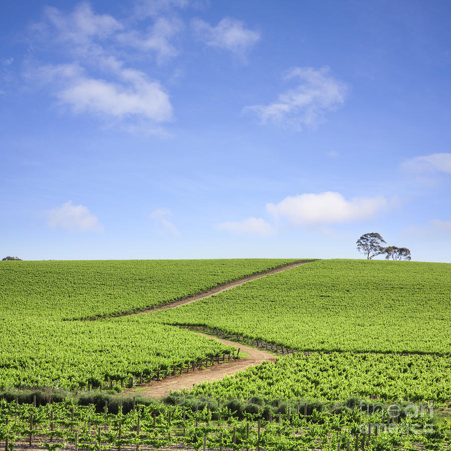 Vineyard Photograph - Vineyard South Australia by Colin and Linda McKie