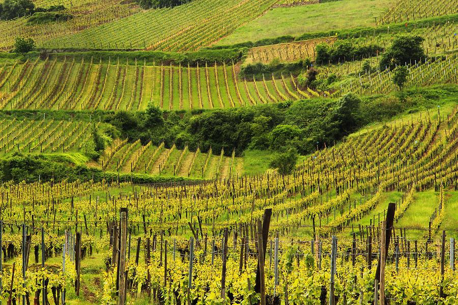 Vineyards Photograph - Vineyards Above Ammerschwihr France by Greg Matchick