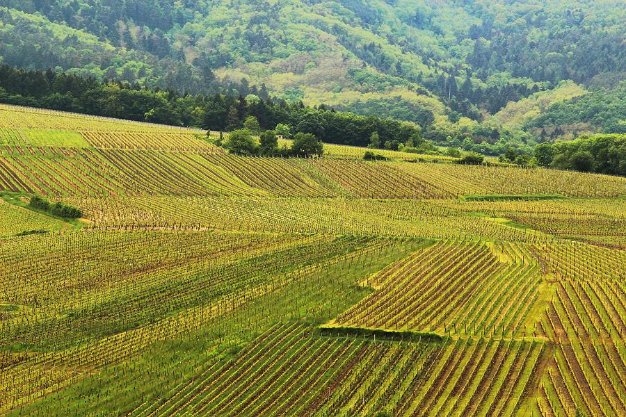 Vineyards Photograph - Vineyards Below Zellenberg France 1 by Greg Matchick