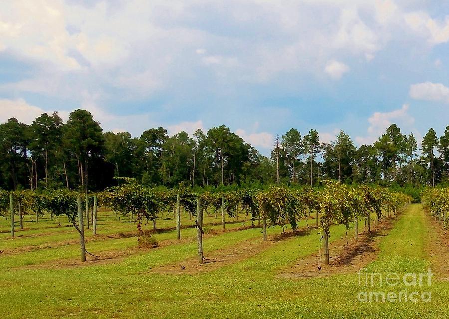 Vineyard Photograph - Vineyards by Eloise Schneider