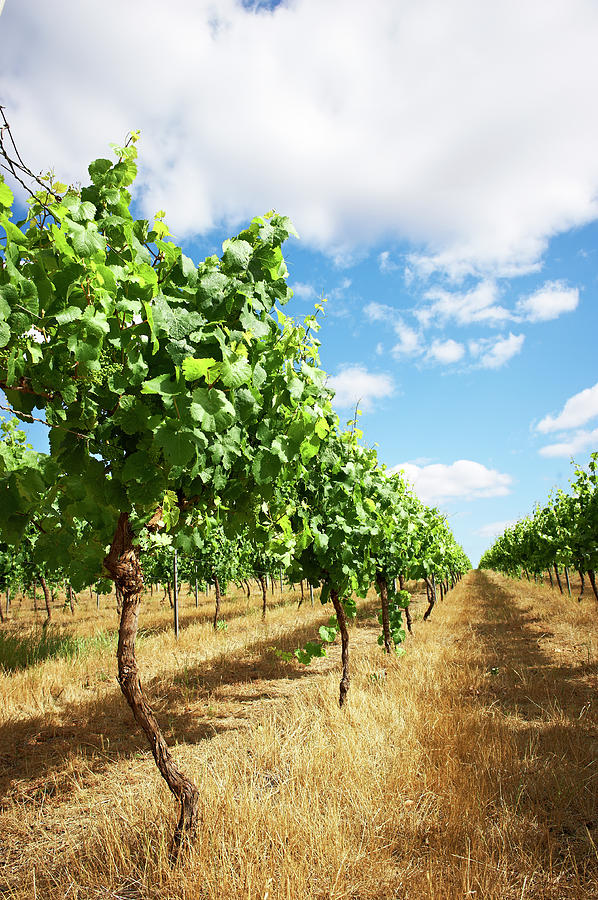 Vineyards Photograph by Frances Andrijich