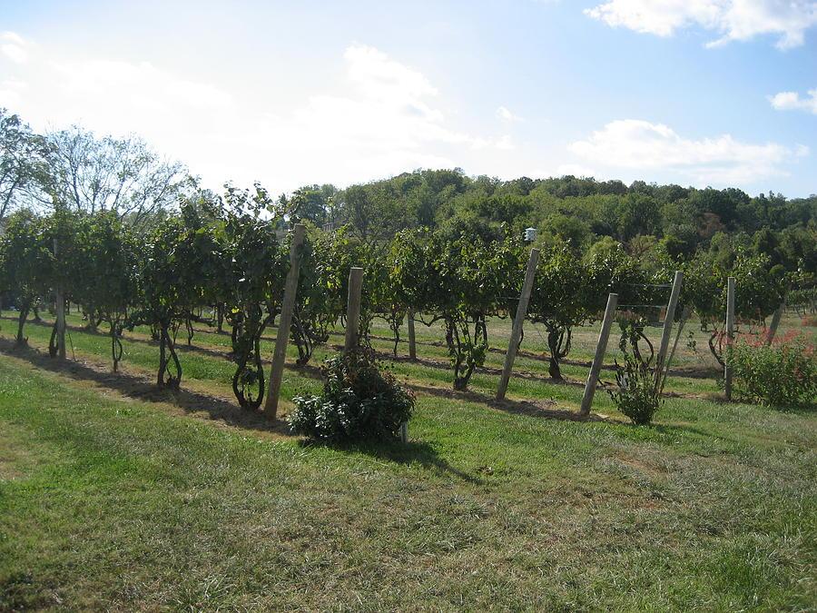 Virginia Photograph - Vineyards In Va - 121251 by DC Photographer
