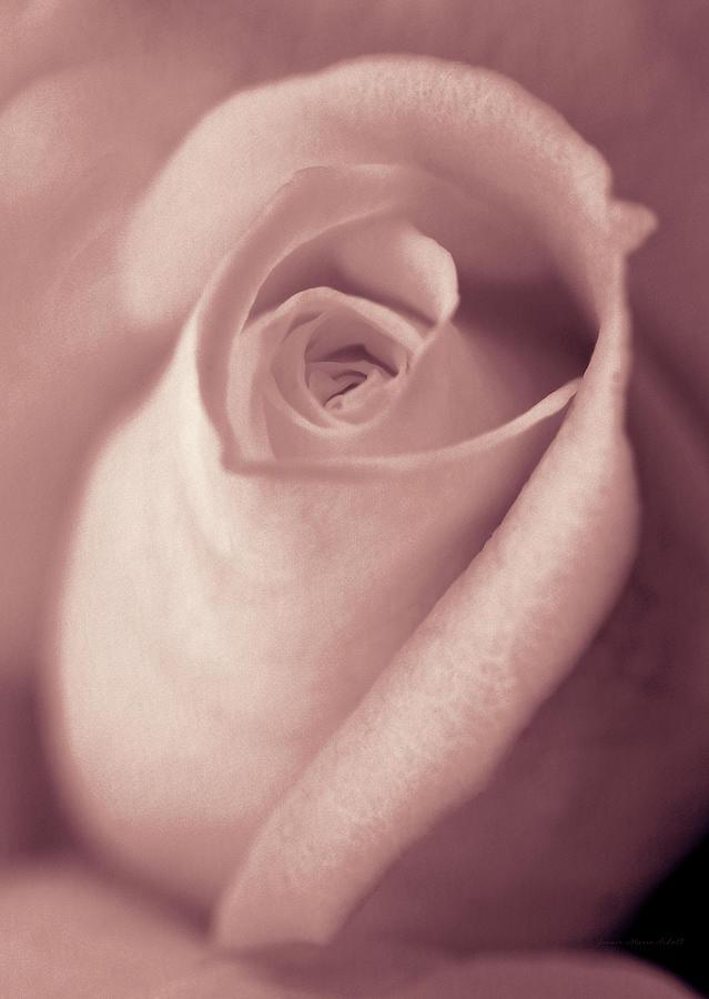 Vintage Blush Pink Rose Bud Flower Photograph