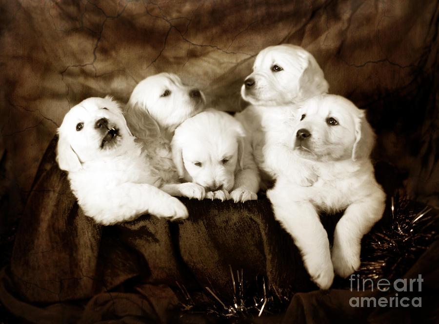 Dog Photograph - Vintage Festive Puppies by Angel Ciesniarska