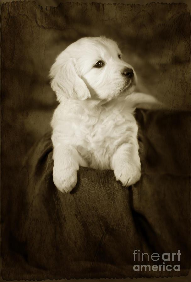 Dog Photograph - Vintage Golden Retriever Pup by Angel  Tarantella