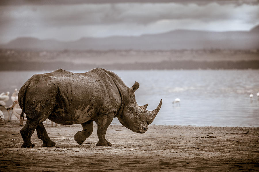 Africa Photograph - Vintage Rhino On The Shore by Mike Gaudaur
