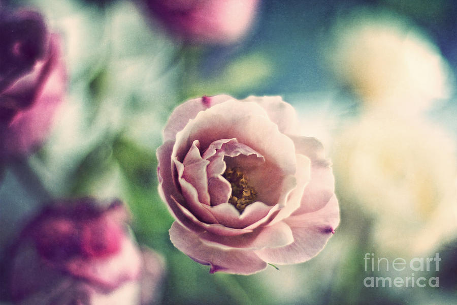 Vintage Rose Photograph by Catherine MacBride