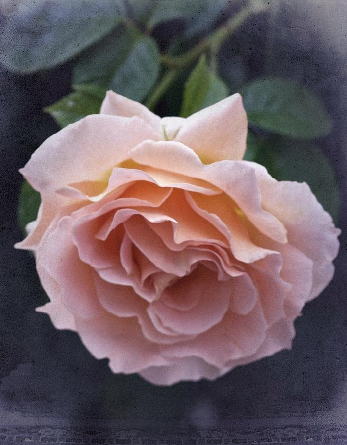 Rose Photograph - Vintage Rose No. 5 by Richard Cummings