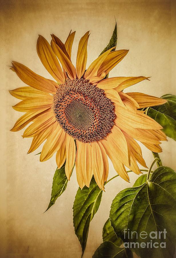 Field Photograph - Vintage Sunflower by Edward Fielding