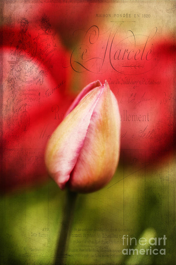 Soft Photograph - Vintage Tulip by Darren Fisher