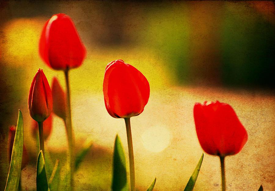 Abstract Photograph - Vintage Tulip by Svetoslav Sokolov