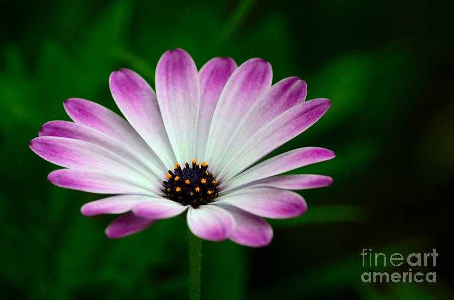 Violet and white flower petals with yellow stamens blossoms bloom photograph violet and white flower petals with yellow stamens blossoms by imran ahmed mightylinksfo