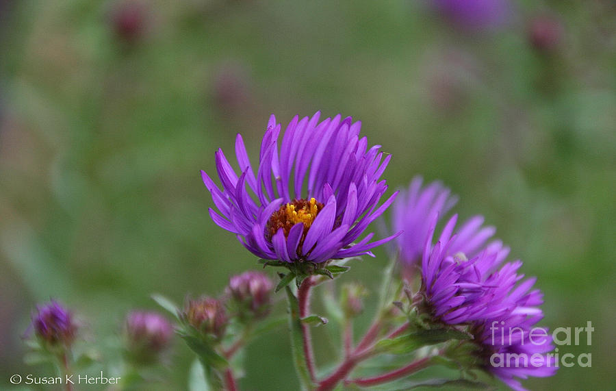 Flower Photograph - Violet Breeze by Susan Herber