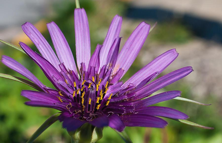 Flower Photograph - Violet Flower by Carlos V Bidart