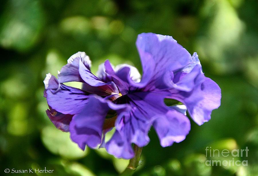 Flower Pastel - Violet Ruffles by Susan Herber