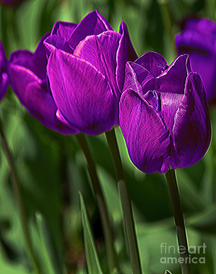 Violet Tulips 2 Photograph