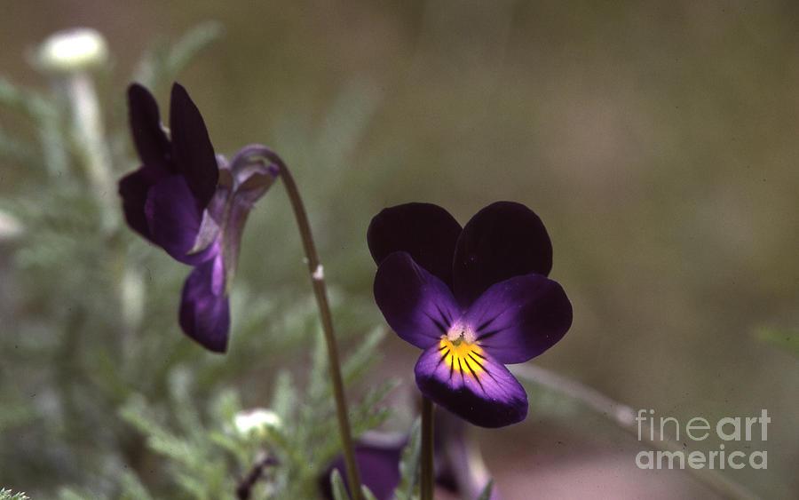 Violets Photograph - Violets -33 by Stephen Parker