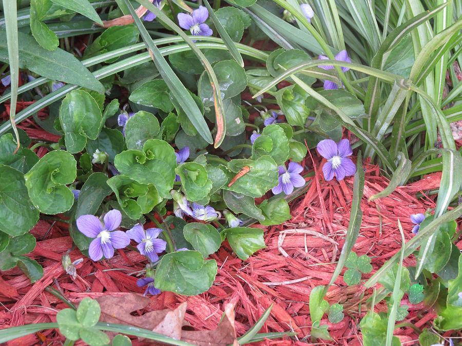 Landscape Photograph - Violets by Diane Mitchell