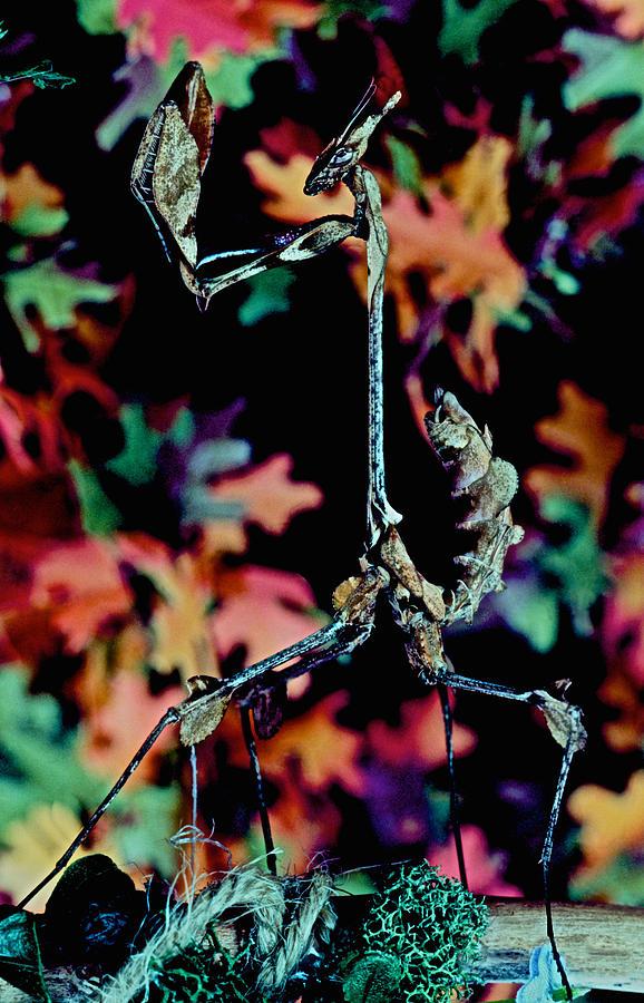 Indian Rose Mantis Photograph - Indian Rose Mantis Gonglus Gongylodes Wandering Violin Mantis Full Body Closeup          by Leslie Crotty