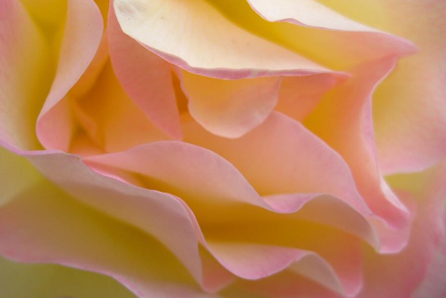 Rose Photograph - Virgin Folds by Shirley Sirois