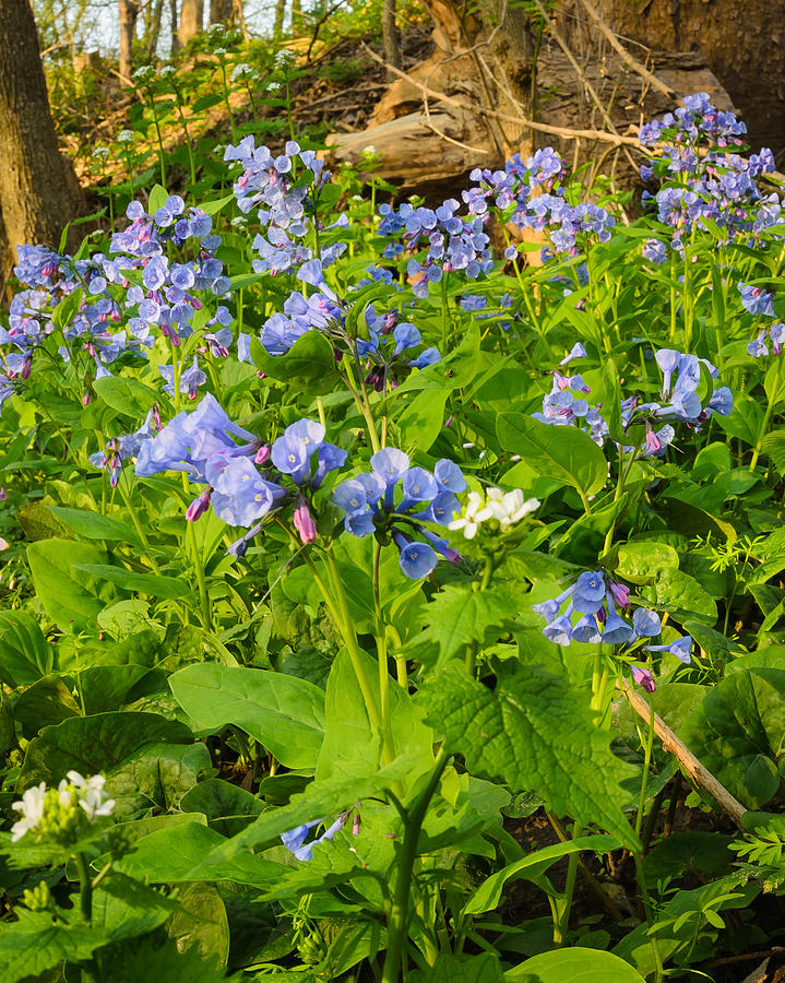 Bloom Photograph - Virginia Bluebells by Thomas Pettengill
