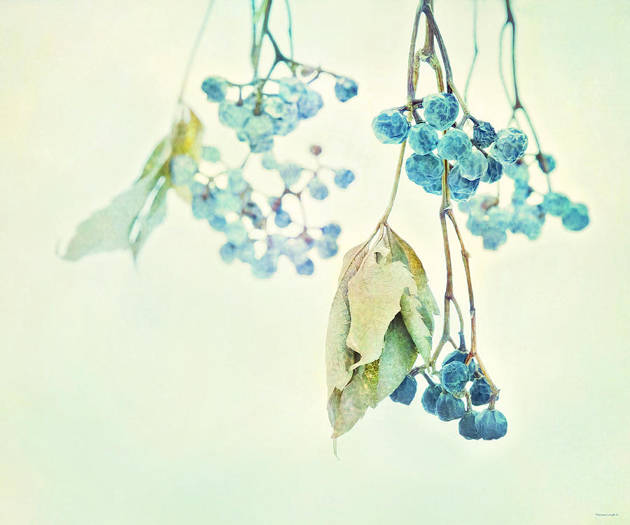 Virginia Creeper Photograph - Virginia Creeper Berries by Theresa Tahara