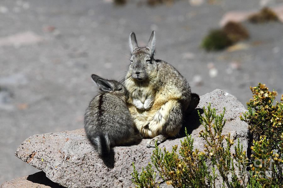 Viscacha Love Photograph By James Brunker