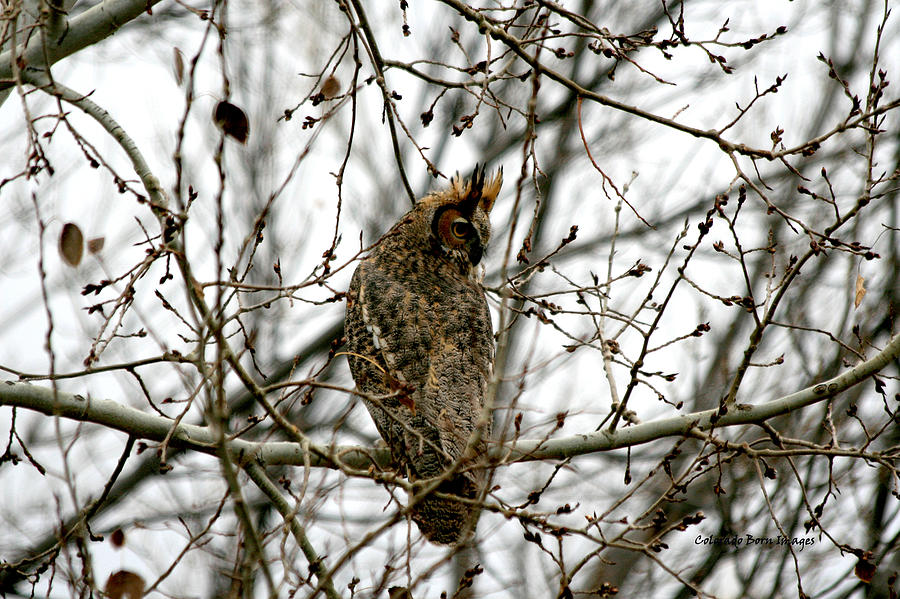 Owl Photograph - Visiting Owl 2 by Rebecca Adams