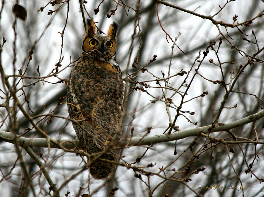 Owl Photograph - Visiting Owl by Rebecca Adams