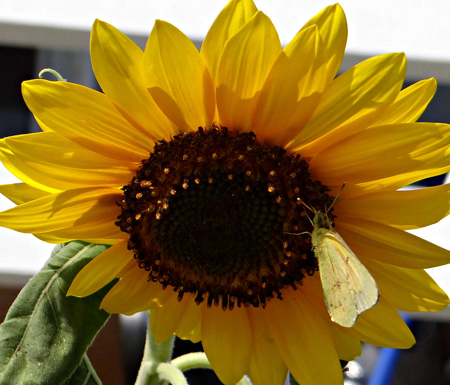 Sunflower Photograph - Visitor by Brenda Conrad